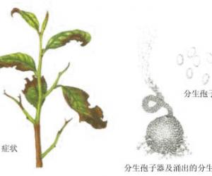 茶树幼嫩枝梢及茎部的主要病害及其防治