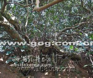 贵州普定县化处镇用商业模式保护古茶树群(图)
