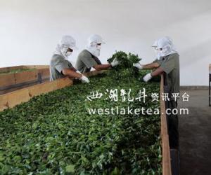 云南普洱:普洱茶种产销实现规模化(组图)