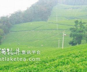 """浙江嵊州越乡龙井,""""起舞""""茶叶市场(图)"""