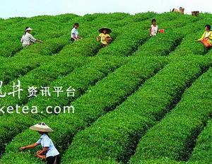 贵州松桃茶产业:茶园建设提速 品牌意识复苏(图)