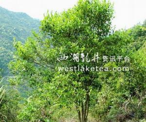 福建:宁德蕉城发现野生大茶树(图)