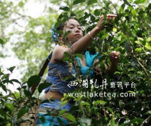 云南:景迈山古茶园采茶忙(图)
