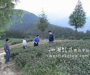 湖北竹山县布署茶树良种插穗培育工作(图)