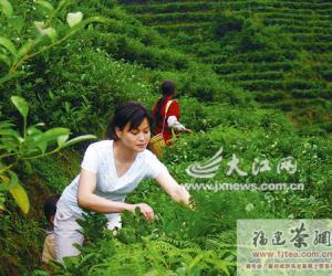 铁观音逼近江西绿茶