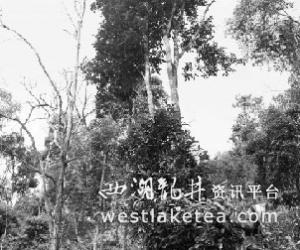走进茶山深处亚诺村--基诺族人第一村(图)
