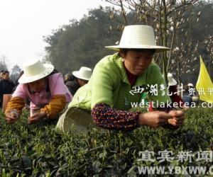 宜宾春茶大获丰收 实现产值4.265亿元(图)