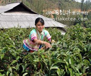 西双版纳春茶产量减少 价格回升涨10块(图)
