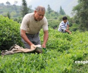 黄山夏茶开采 茶农再迎大忙季节(图)