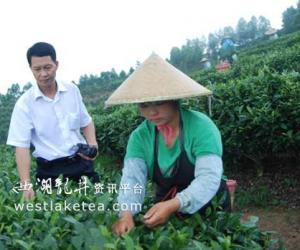 广西贵港市覃塘区做大做强优质毛尖茶产业(图)