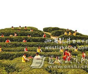 湖北:巴东茶叶产业整合之路(图)