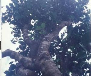 云南古乔木茶树