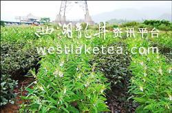 台湾宜兰一茶园套种芝麻 好处多多(图)