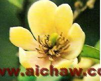 含笑花|含笑花的价值|含笑花茶|含笑花茶的美容保健作用