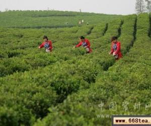 地产早春茶上市 每斤卖到600元