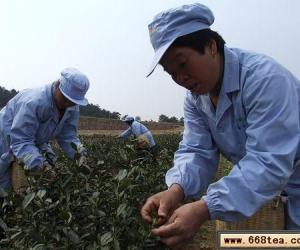 """我县地产白茶""""新""""开摘"""