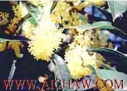 桂花的分类