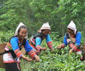 西双版纳:基诺山大叶茶进入采摘期(图)