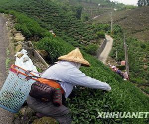 阿里山高山茶产区嘉义县:白云深处有好茶(图)