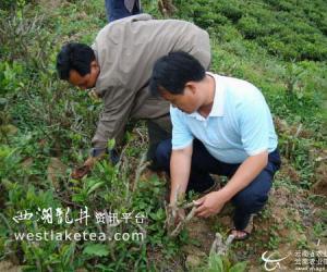 南涧县茶办加强对低产茶园改造的督促检查工作(图)