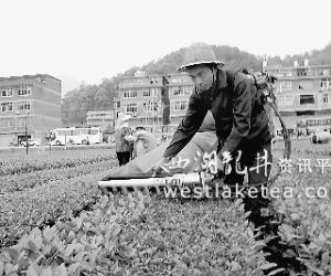 福建华安:农机补贴推进茶业机械化(图)