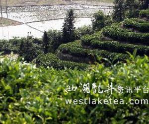 安徽祁门红茶飘香 旅游迎新客(图)