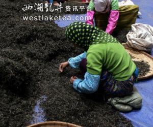 云南勐海一些茶厂保留古法手工制茶(图)