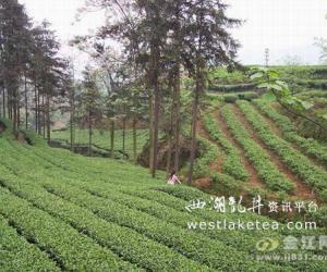 四川筠连有个茶叶村(图)