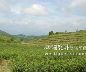 福建闽侯:台湾软枝乌龙茶高效栽培技术研究项目即将通过审批