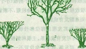 茶树的形态特征(三)