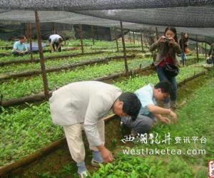 云南省农科院茶叶研究所汪云刚检查指导广南县茶叶工作