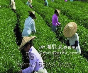贵州:种茶致富 正安县乐俭乡打造茶业专业乡(图)