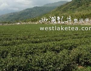 台东县鹿野乡福鹿茶制茶体验营活动8月举行