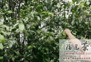 西双版纳800年古茶树还可采