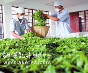 普洱市思茅区:生态种茶赢得市场 茶农乐(图)