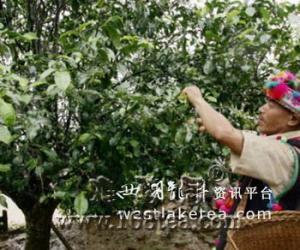 西双版纳:南糯山800年古茶树仍有茶可采(图)