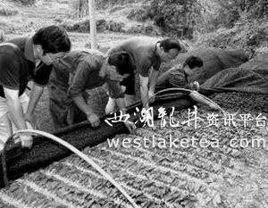 福建:大田成功培育四万株金观音茶苗(图)