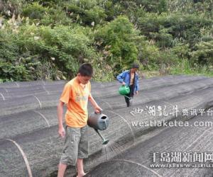 浙江淳安县:茶农洒水抗旱保茶苗(图)