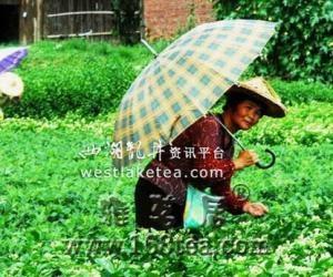 """福建仙游:茉莉花采收季节到 """"三伏""""天茶农采茶忙(图)"""