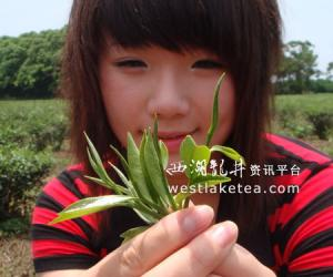 台湾:2009苗栗东方美人茶吃茶季8月2日开幕(图)