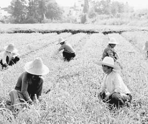 江西婺源县成为全国首个茶叶生产大县