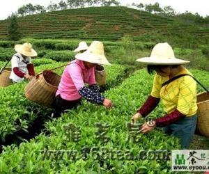 涌溪火青茶的采制工艺