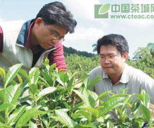 台湾:红茶最新品种,台茶21号(图)