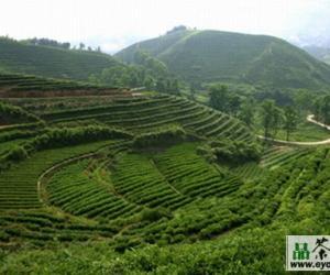 金奖惠明茶的产区环境