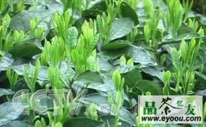 江山绿牡丹茶的发展历史