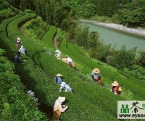 峨眉毛峰茶的采制工艺