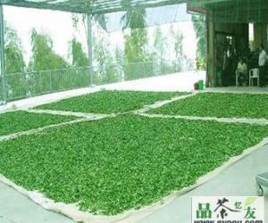 天山绿茶的采制工艺