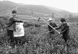 茶农们加强对即将出产的明前茶管理(图)