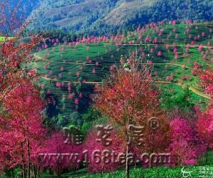 南涧县着力打造无量山标准生态茶园模式
