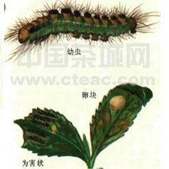 茶树病虫害防治――茶毛虫类